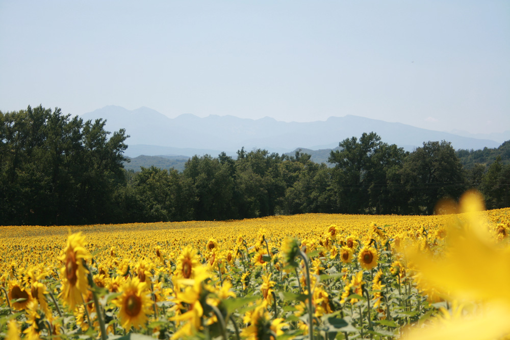 badia sunflowers